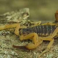 Le Brésil est envahi par des scorpions venimeux, et c'est en partie à cause du changement climatique