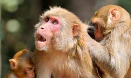 Des singes à qui on a injecté des gènes de cerveau humain présentent des résultatschoquants