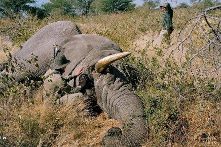 Le Botswana rouvre le droit de chasse auxéléphants
