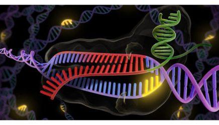 Première expérience sur un embryon animal composé de cellules humaines auJapon